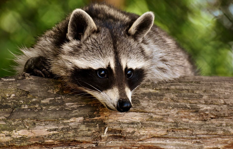 Raccoon Removal Kitchener