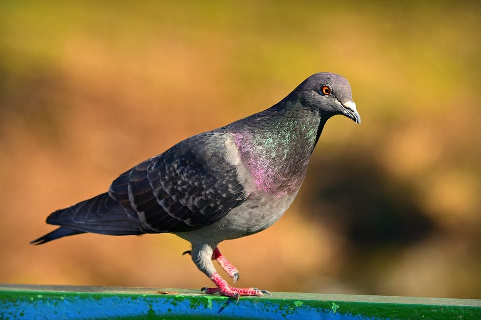 pigeon removal kitchener