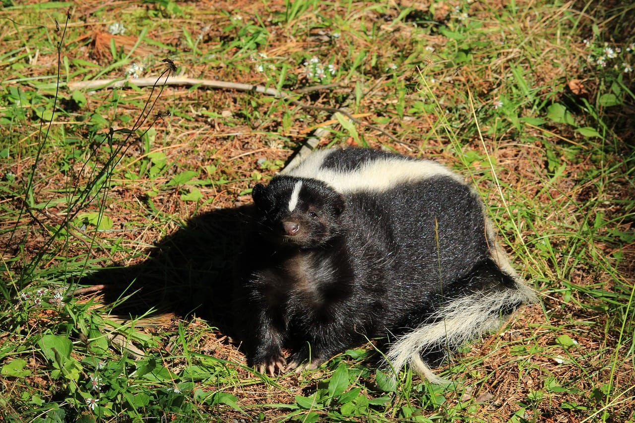 Skunk Removal Kitchener