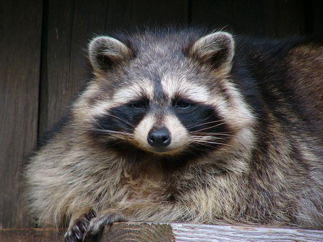 Dangers of feeding raccoons