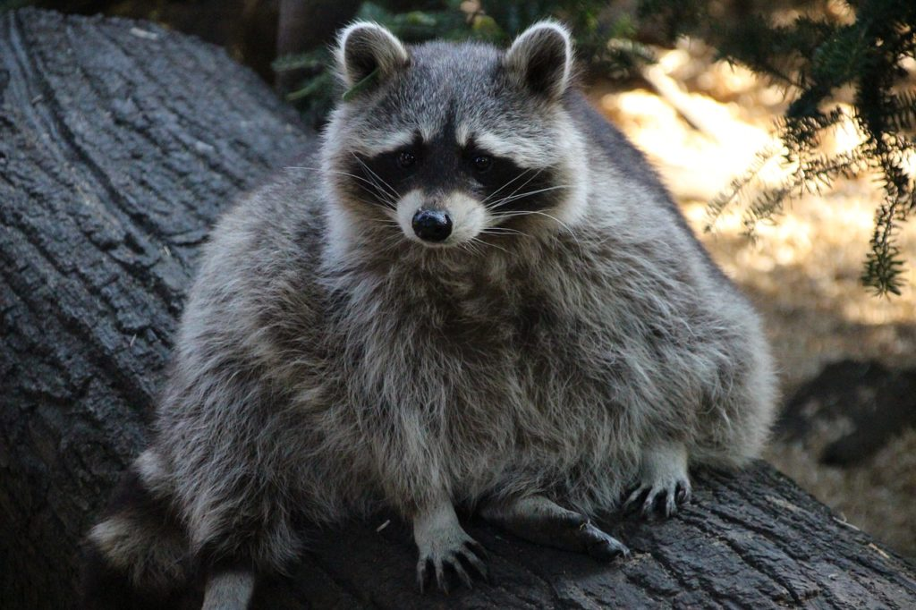 Found a raccoon in your garage, there is what you should do