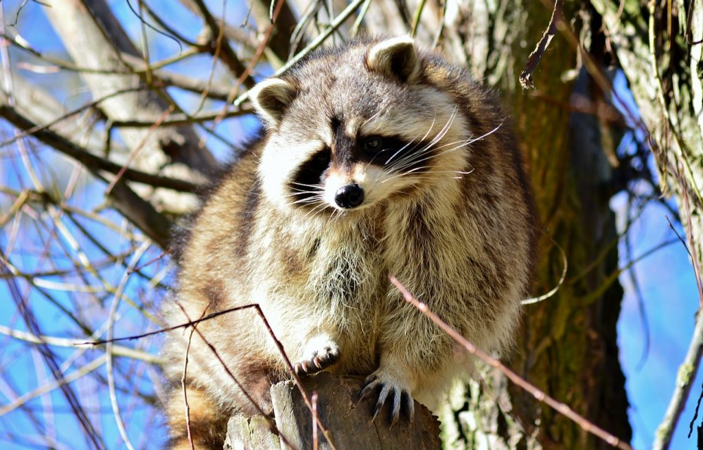 How dangerous is a raccoon bite?