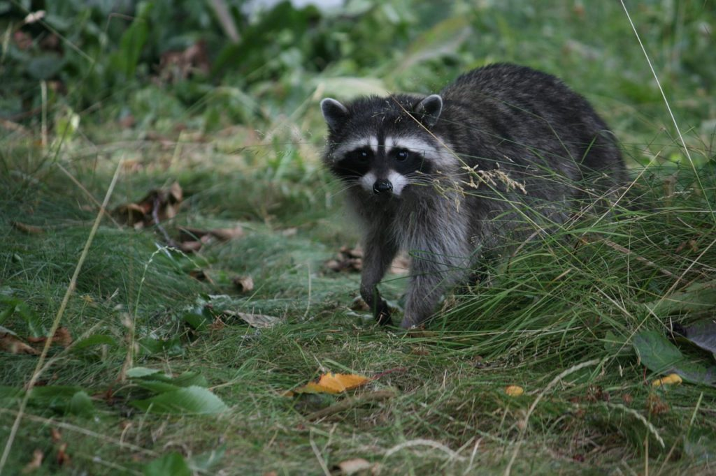 Why Raccoon Repellants Don't Work