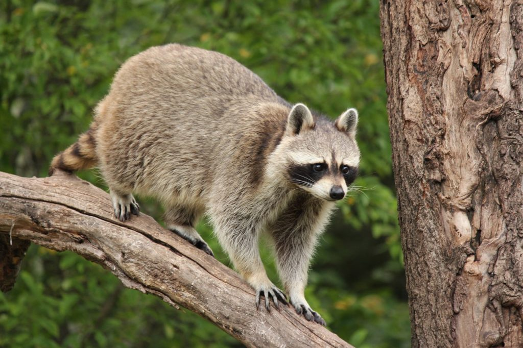 Why some raccoons are aggressive