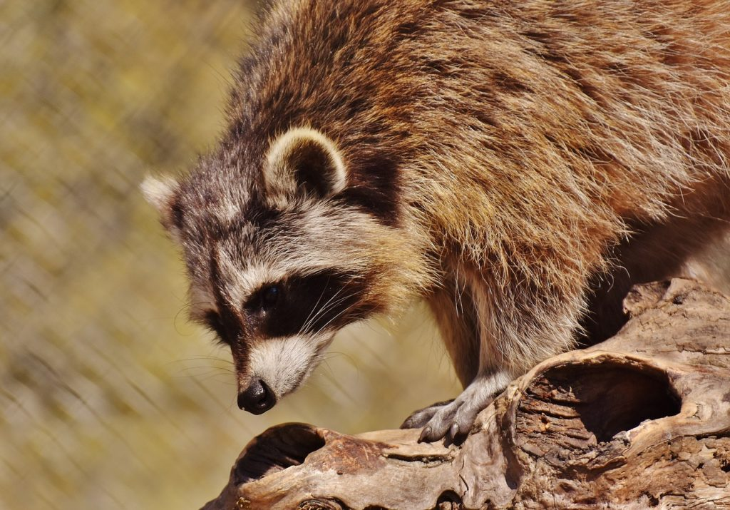 What are some humane, effective ways of repelling raccoons?